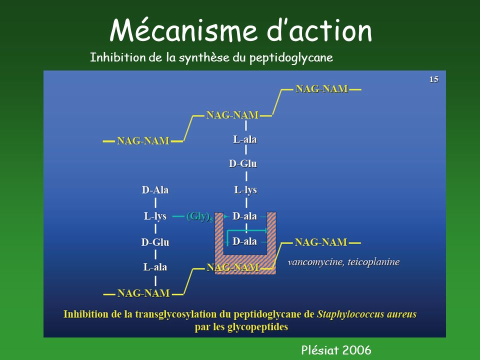 Mécanisme daction Plésiat 2006 Inhibition de la synthèse du peptidoglycane