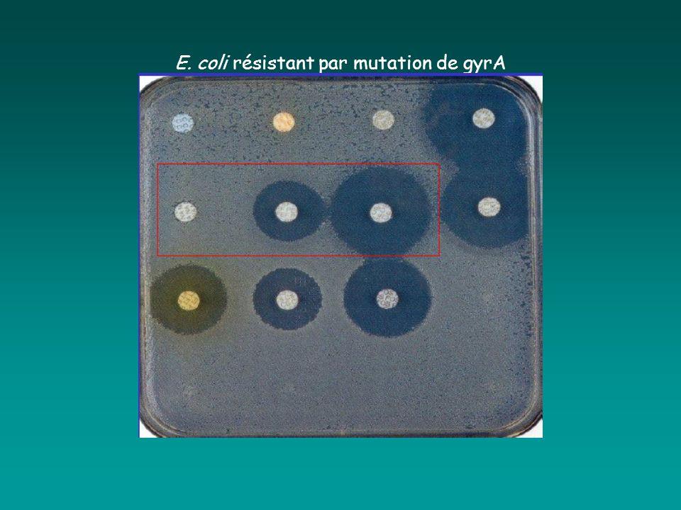 E. coli résistant par mutation de gyrA