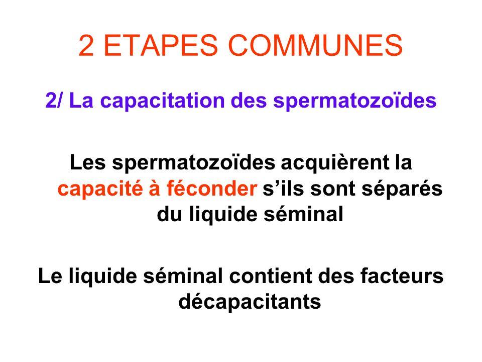 2 ETAPES COMMUNES 2/ La capacitation des spermatozoïdes Les spermatozoïdes acquièrent la capacité à féconder sils sont séparés du liquide séminal Le l