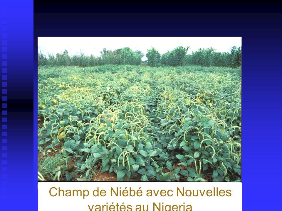 Champ de Niébé avec Nouvelles variétés au Nigeria