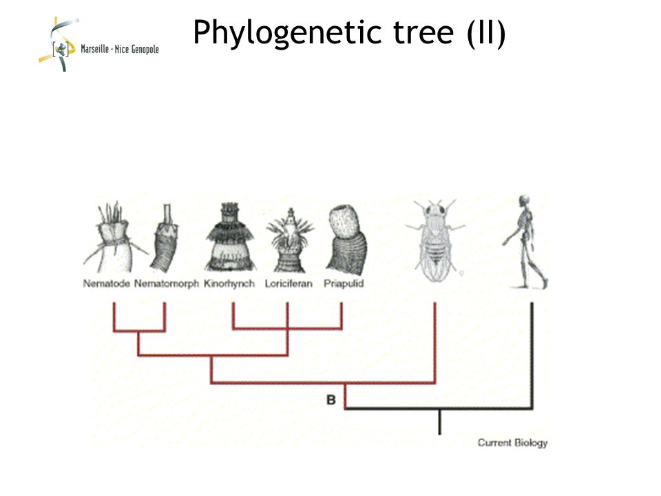 Phylogenetic tree (II)