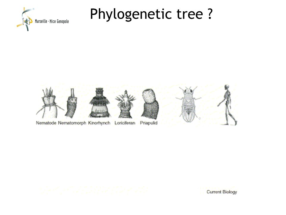 Phylogenetic tree ?