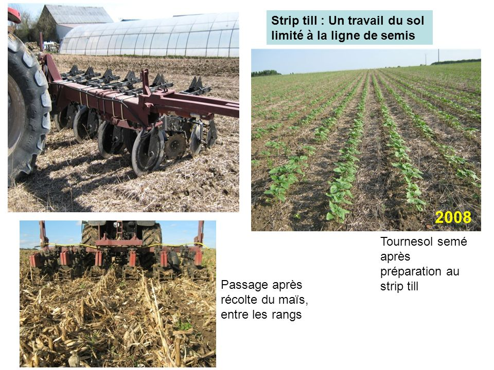 Strip till : Un travail du sol limité à la ligne de semis Passage après récolte du maïs, entre les rangs Tournesol semé après préparation au strip til