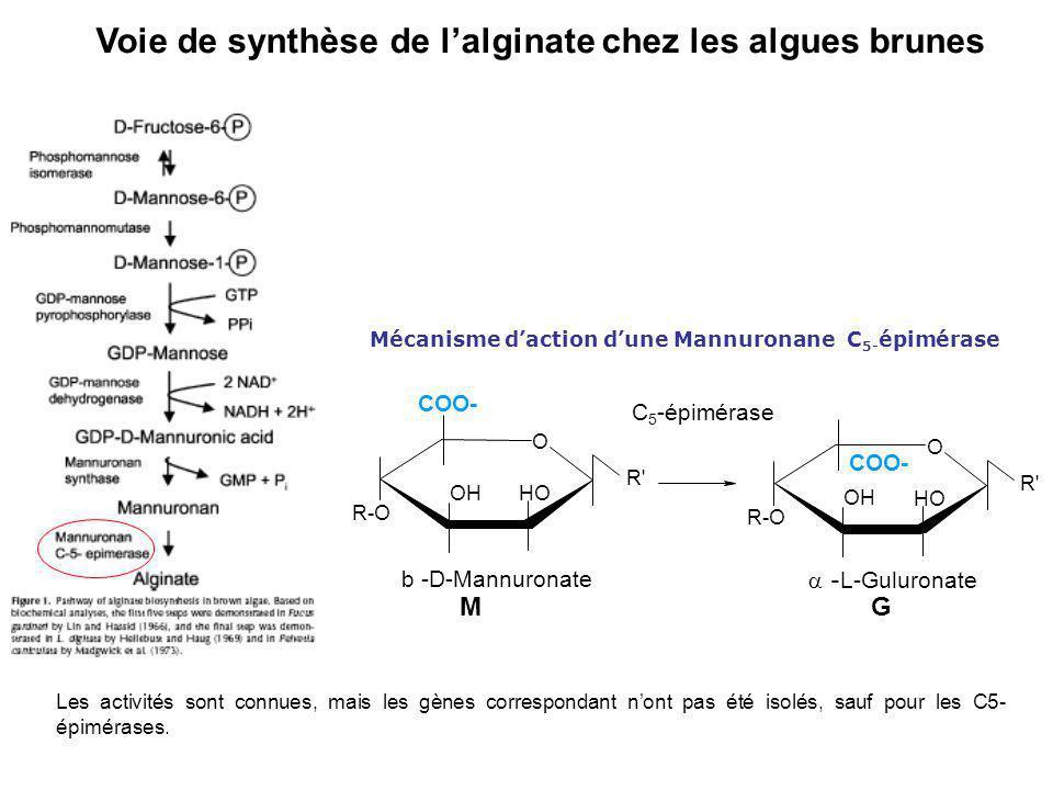 Voie de synthèse de lalginate chez les algues brunes Les activités sont connues, mais les gènes correspondant nont pas été isolés, sauf pour les C5- é