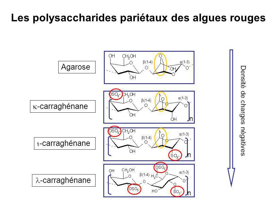 -carraghénane β(1-4) α(1-3) n β(1-4) α(1-3) n β(1-4) α(1-3) n Agarose Densité de charges négatives β(1-4)α(1-3) Les polysaccharides pariétaux des algu
