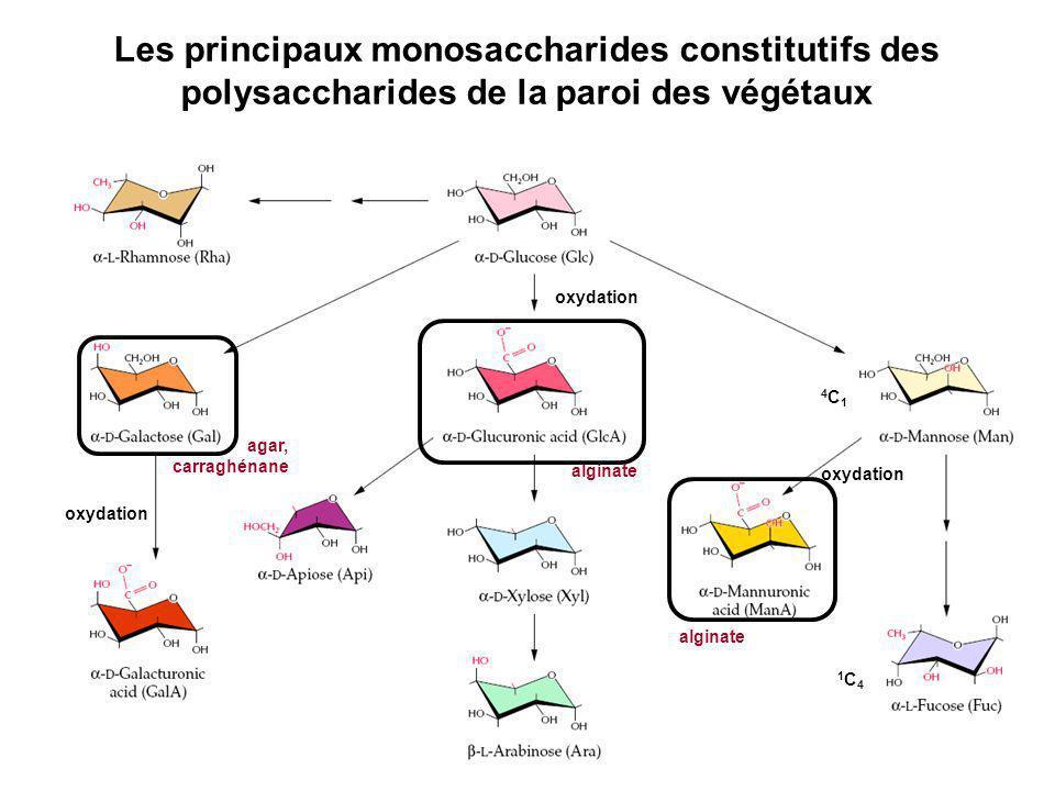 Les principaux monosaccharides constitutifs des polysaccharides de la paroi des végétaux oxydation 4C14C1 1C41C4 agar, carraghénane alginate