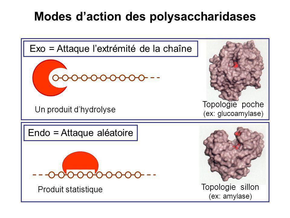 Modes daction des polysaccharidases Exo = Attaque lextrémité de la chaîne Un produit dhydrolyse Topologie poche (ex: glucoamylase) Endo = Attaque aléa