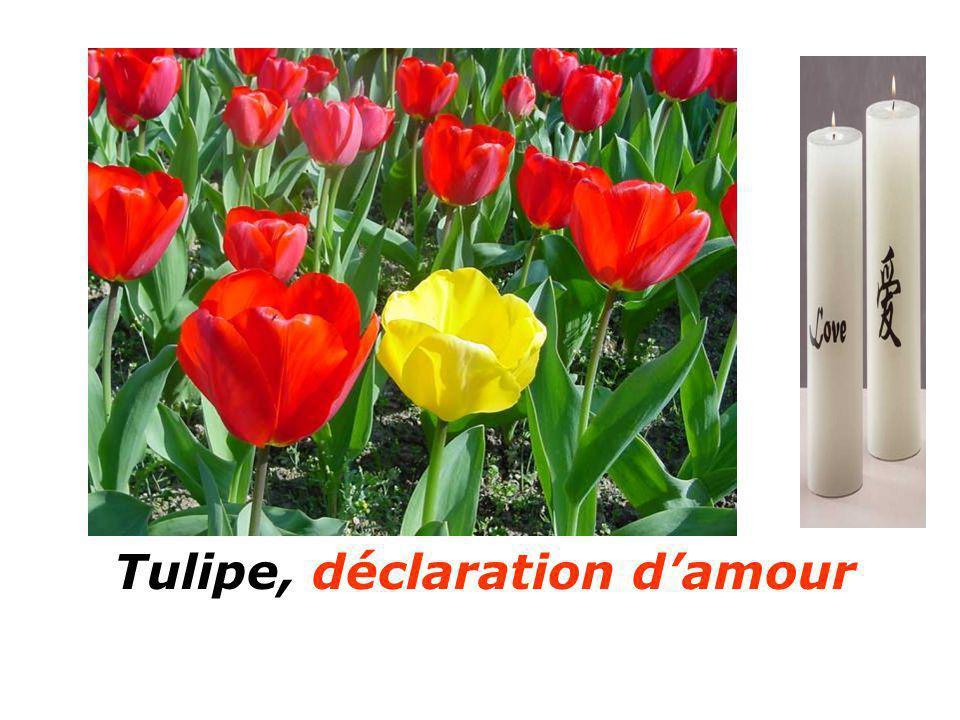Tulipe, déclaration damour Aubépine soyez prudent Aubépine soyez prudent
