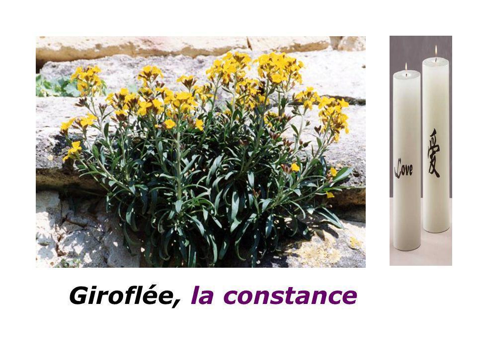 Giroflée, la constance
