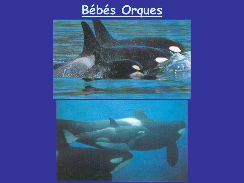 Bébés Orques