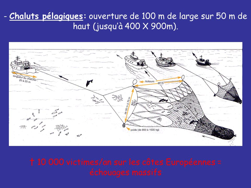- Chaluts pélagiques: ouverture de 100 m de large sur 50 m de haut (jusquà 400 X 900m). 10 000 victimes/an sur les côtes Européennes = échouages massi