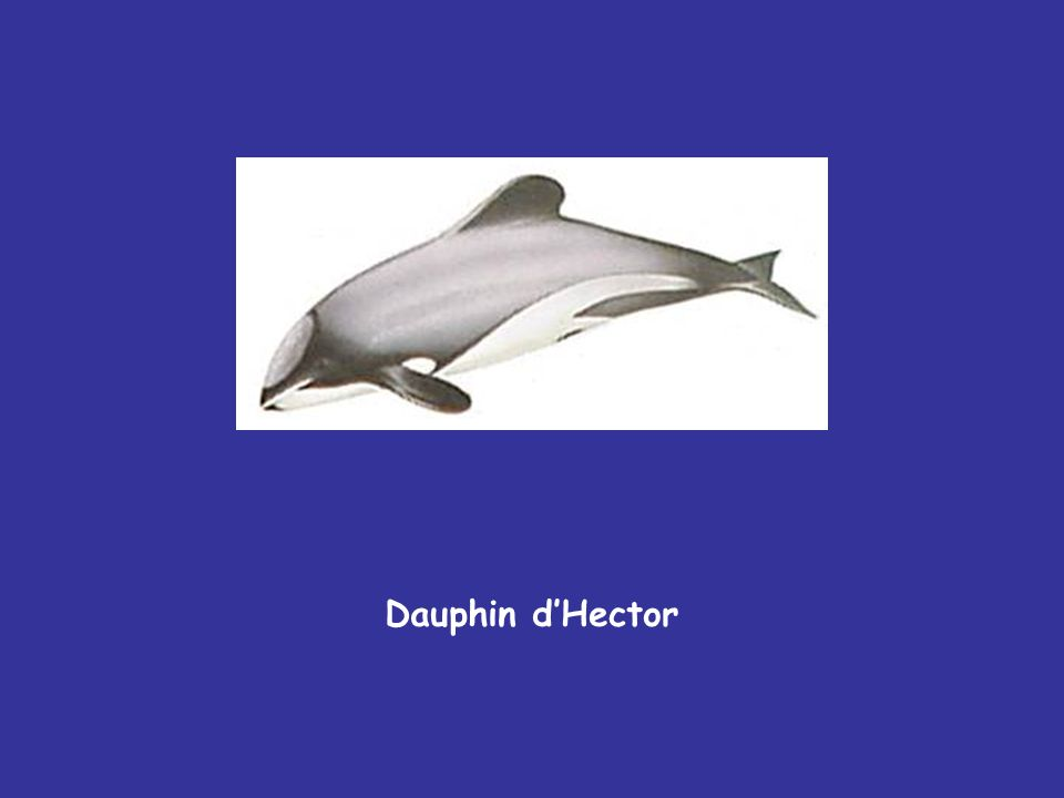 Dauphin dHector
