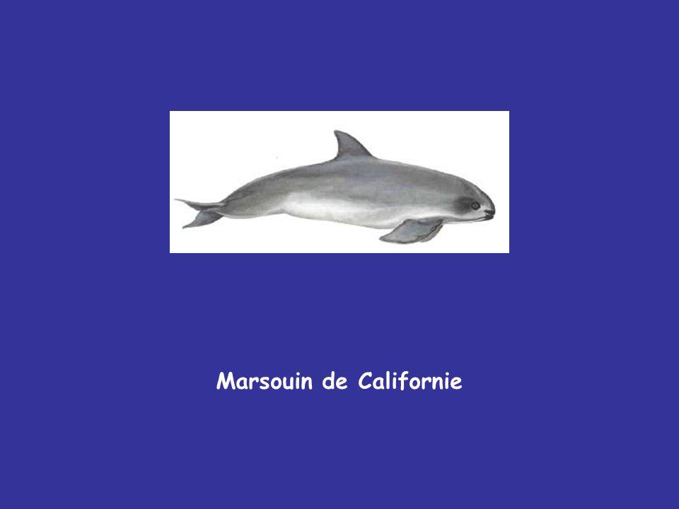 Marsouin de Californie