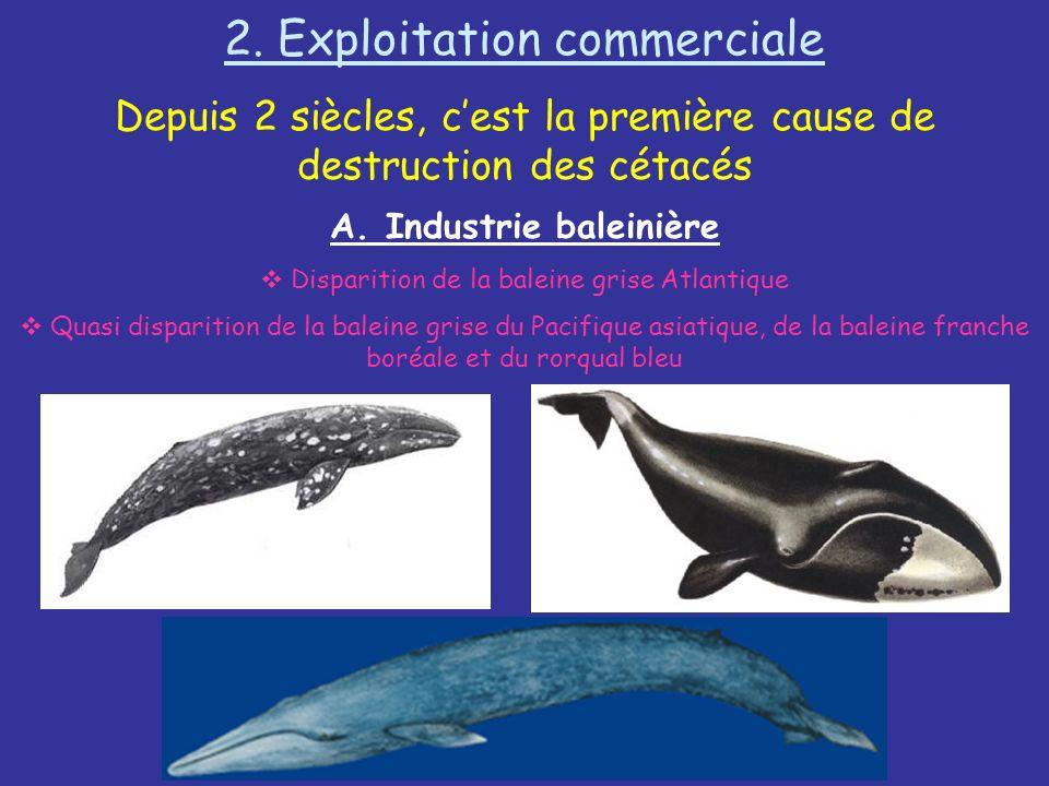 2. Exploitation commerciale Depuis 2 siècles, cest la première cause de destruction des cétacés A. Industrie baleinière Disparition de la baleine gris