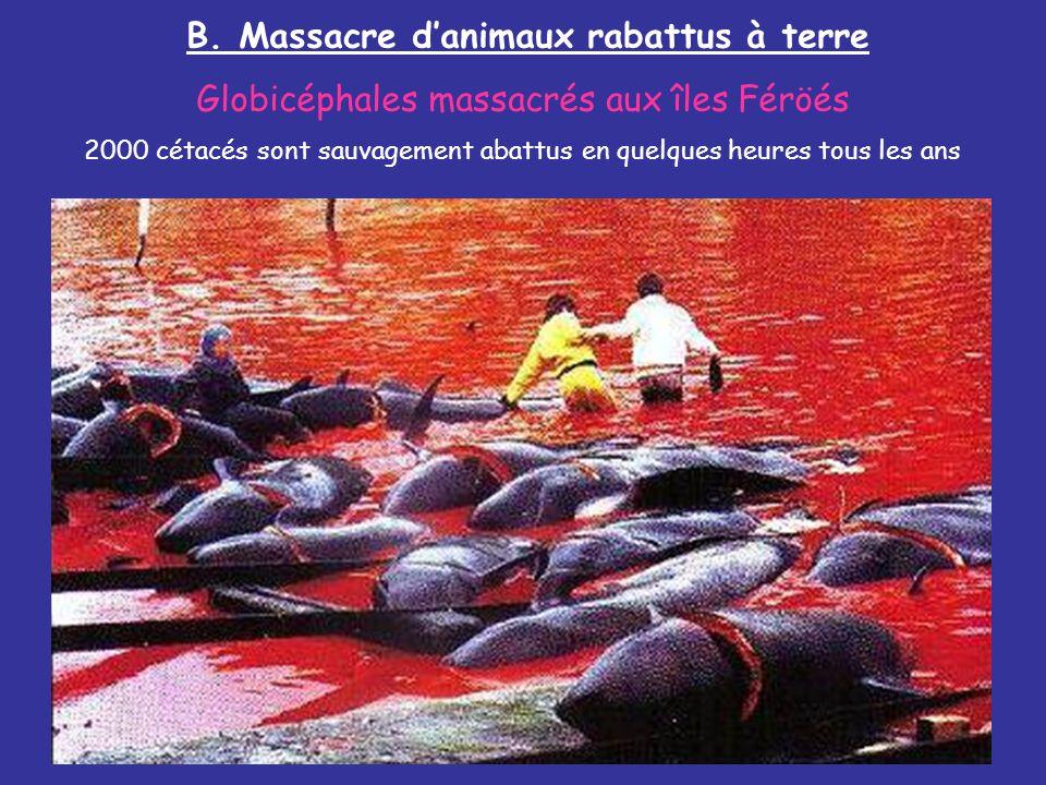 B. Massacre danimaux rabattus à terre Globicéphales massacrés aux îles Féröés 2000 cétacés sont sauvagement abattus en quelques heures tous les ans