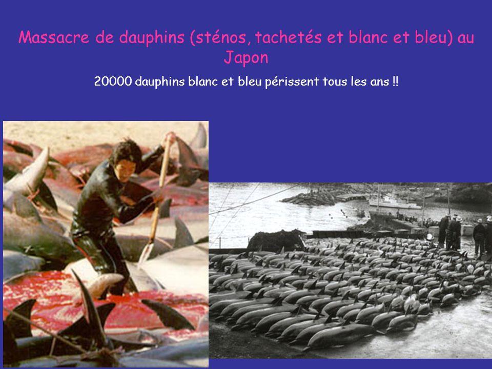 Massacre de dauphins (sténos, tachetés et blanc et bleu) au Japon 20000 dauphins blanc et bleu périssent tous les ans !!