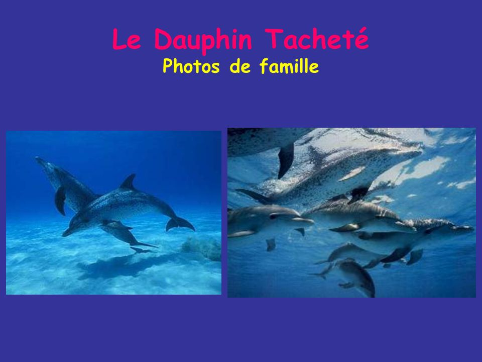 Le Dauphin Tacheté Mode de vie Il mange des poissons de pleine eau (harengs, anchois) et quelques céphalopodes Aux Açores, il est présent à partir de