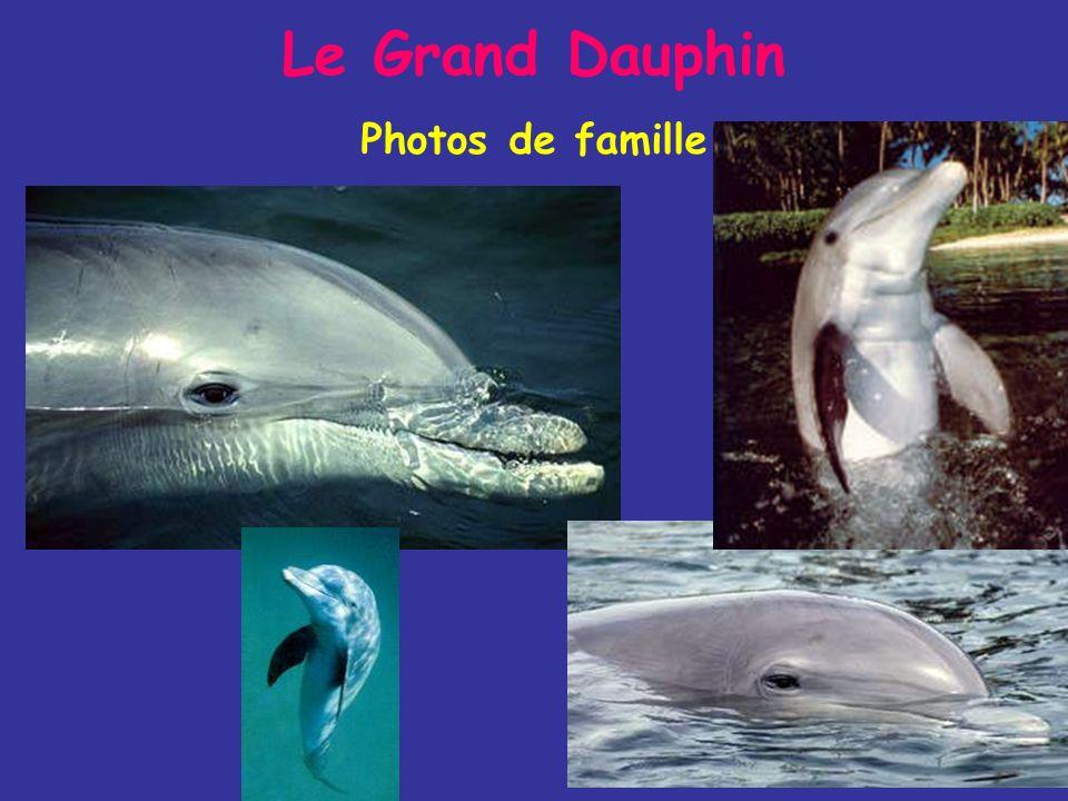 Il mange des poissons, mulets, anguilles et céphalopodes (seiches, calmars) et parfois des crevettes Le Grand Dauphin Mode de vie - On le trouve aux A