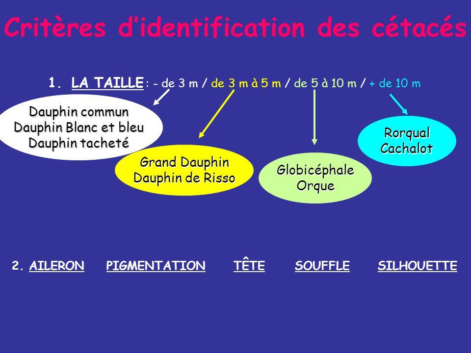 Critères didentification des cétacés 1.LA TAILLE : - de 3 m / de 3 m à 5 m / de 5 à 10 m / + de 10 m Dauphin commun Dauphin Blanc et bleu Dauphin tacheté Grand Dauphin Dauphin de Risso GlobicéphaleOrque RorqualCachalot PIGMENTATION2.
