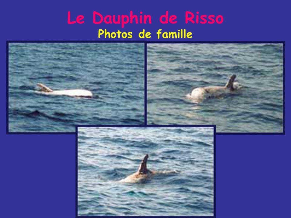 Le Dauphin de Risso Mode de vie - Il mange presque exclusivement des céphalopodes (teutophage) et parfois quelques poissons (dentition très réduite =