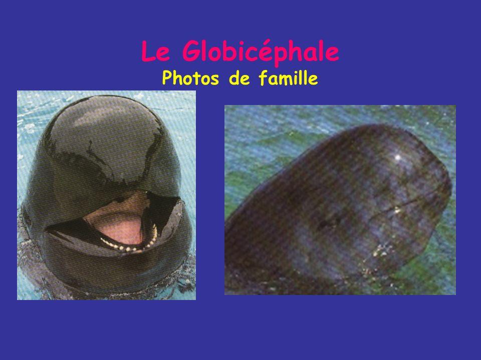 Le Globicéphale Mode de vie - Il mange presque exclusivement des céphalopodes et de petits poissons (jusquà 45 kg par jour) - On le trouve aux Açores
