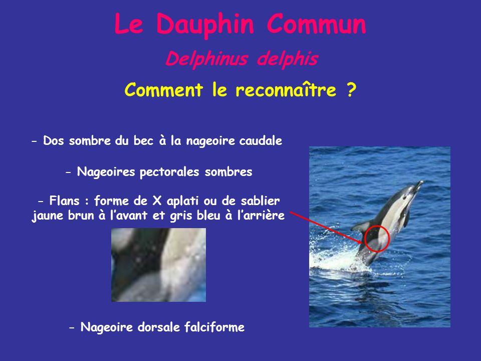 Le Dauphin Commun Delphinus delphis - Dos sombre du bec à la nageoire caudale - Flans : forme de X aplati ou de sablier jaune brun à lavant et gris bleu à larrière - Nageoire dorsale falciforme - Nageoires pectorales sombres Comment le reconnaître ?