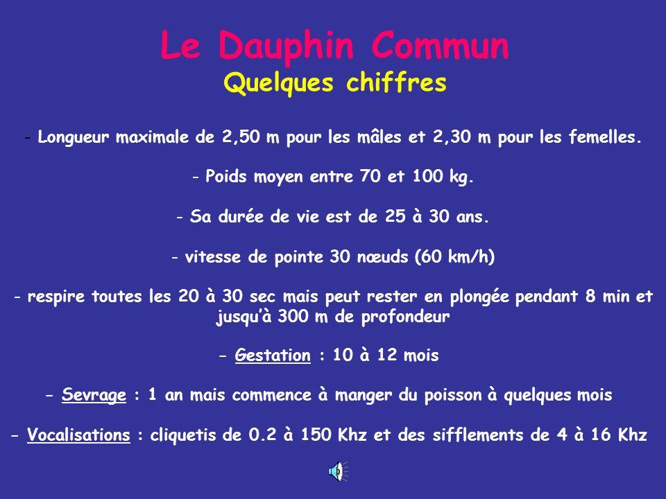 Le Dauphin Commun Delphinus delphis - Dos sombre du bec à la nageoire caudale - Flans : forme de X aplati ou de sablier jaune brun à lavant et gris bl