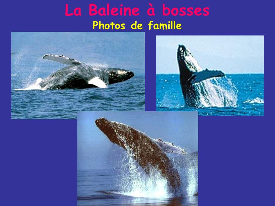 La Baleine à bosses Mode de vie - Elle se nourrit de Krill et de petits poissons (harengs, maquereaux) - Cest la plus acrobate des baleines : Elles fo