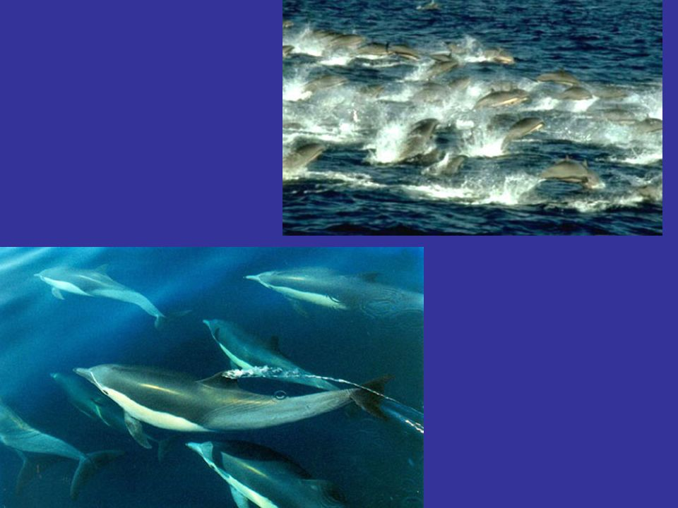 - Cest le plus grand des dauphins : les mâles mesurent jusquà 9 m pour 10 tonnes.