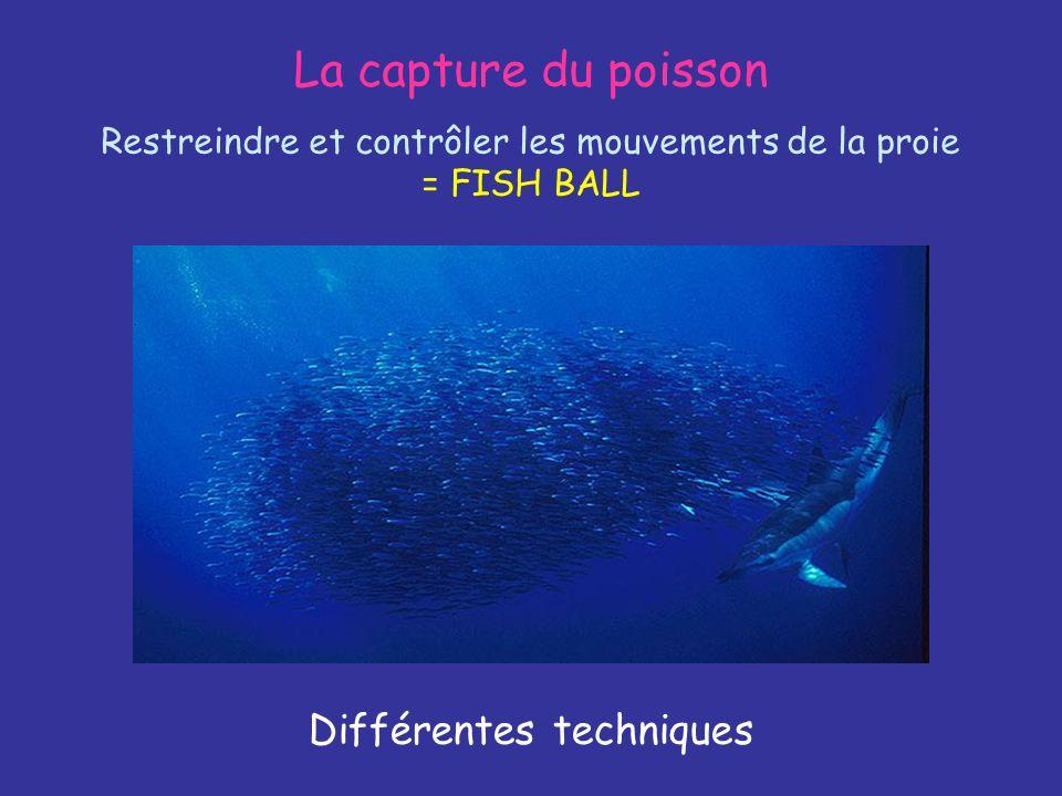 La capture du poisson Restreindre et contrôler les mouvements de la proie = FISH BALL Différentes techniques