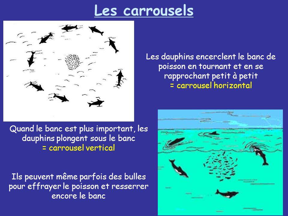 Les dauphins encerclent le banc de poisson en tournant et en se rapprochant petit à petit = carrousel horizontal Quand le banc est plus important, les