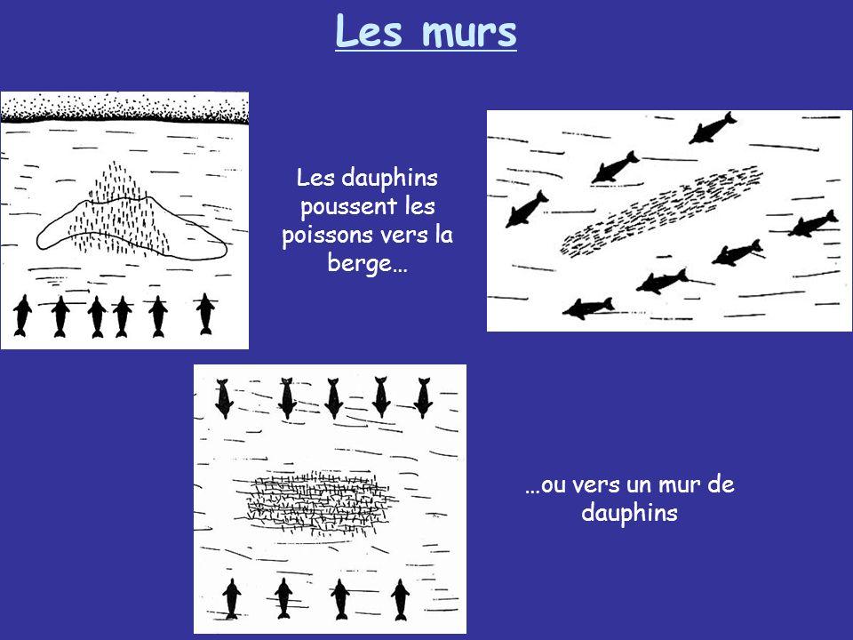 Les murs Les dauphins poussent les poissons vers la berge… …ou vers un mur de dauphins