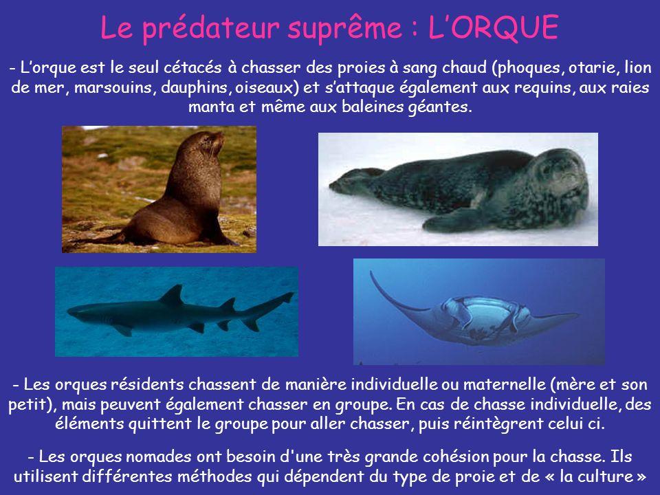 Le prédateur suprême : LORQUE - Lorque est le seul cétacés à chasser des proies à sang chaud (phoques, otarie, lion de mer, marsouins, dauphins, oisea