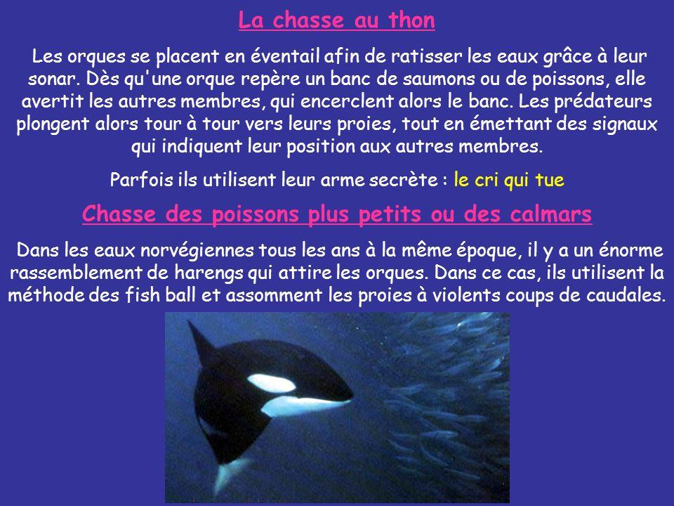 La chasse au thon Les orques se placent en éventail afin de ratisser les eaux grâce à leur sonar. Dès qu'une orque repère un banc de saumons ou de poi
