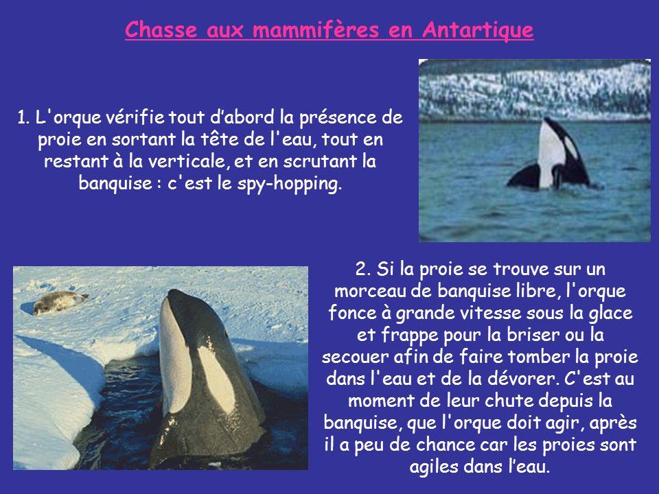 1. L'orque vérifie tout dabord la présence de proie en sortant la tête de l'eau, tout en restant à la verticale, et en scrutant la banquise : c'est le