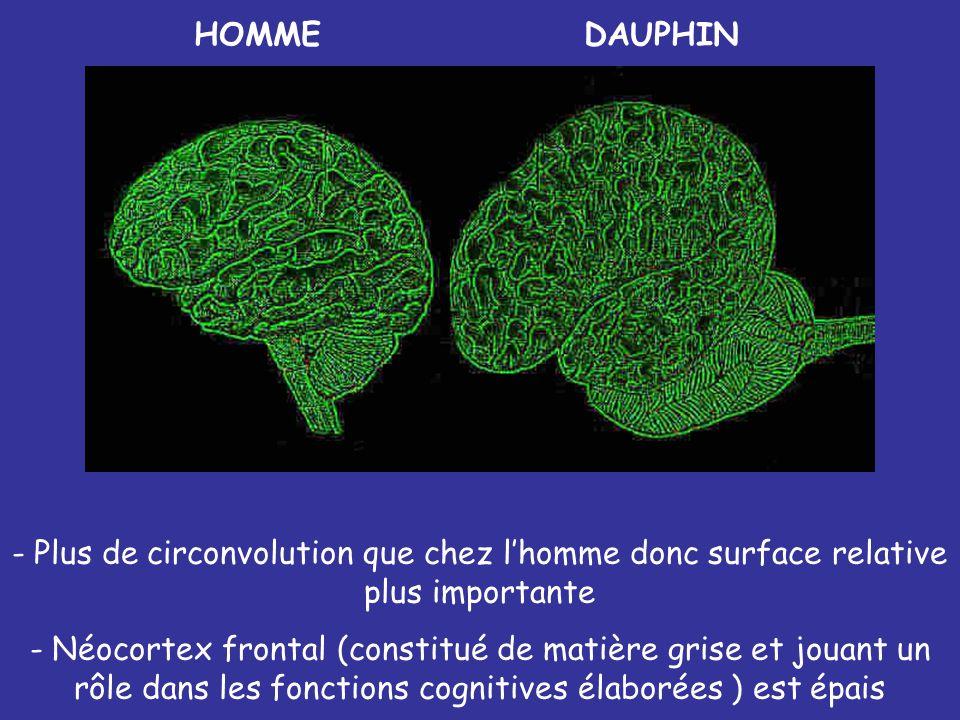 HOMMEDAUPHIN - Plus de circonvolution que chez lhomme donc surface relative plus importante - Néocortex frontal (constitué de matière grise et jouant
