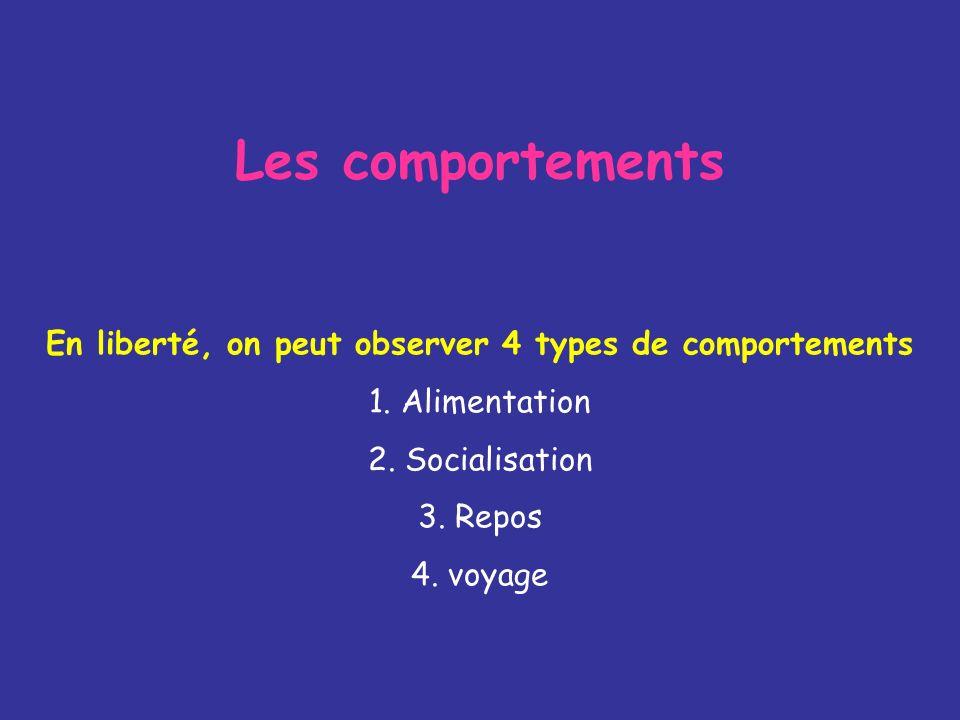Les comportements En liberté, on peut observer 4 types de comportements 1. Alimentation 2. Socialisation 3. Repos 4. voyage