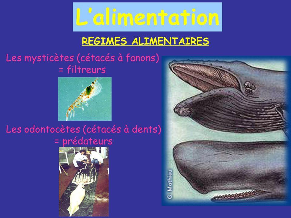Les odontocètes (cétacés à dents) = carnivores prédateurs - Ils sont au sommet de la chaîne alimentaire - Ils se nourrissent dune grandes diversités de proies (crustacés, mollusques, calmars, poissons, oiseaux et mammifères) - Dents toutes identiques, pointues et coniques, conformées pour retenir les corps frétillants et glissants quils gobent (ne servent pas à couper, mordre, déchiqueter, broyer) -Sacré appétit : une orque de 6 tonnes mange 100 kg/jour; un tursiops de 150 kg mange 8 kg/jour (pour lutter contre déperdition de chaleur) -Vite fait bien fait : dans des conditions normales, ils ne passent que 10% de leur temps à se nourrir mais la pollution et la surpêche ont vidés les océans alors maintenant ils y passent jusquà 80% de leur temps