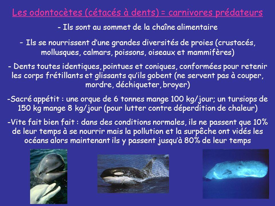 Le prédateur suprême : LORQUE - Lorque est le seul cétacés à chasser des proies à sang chaud (phoques, otarie, lion de mer, marsouins, dauphins, oiseaux) et sattaque également aux requins, aux raies manta et même aux baleines géantes.