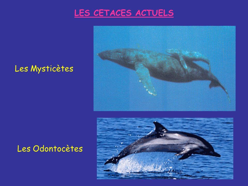LES CETACES ACTUELS Les Mysticètes Les Odontocètes