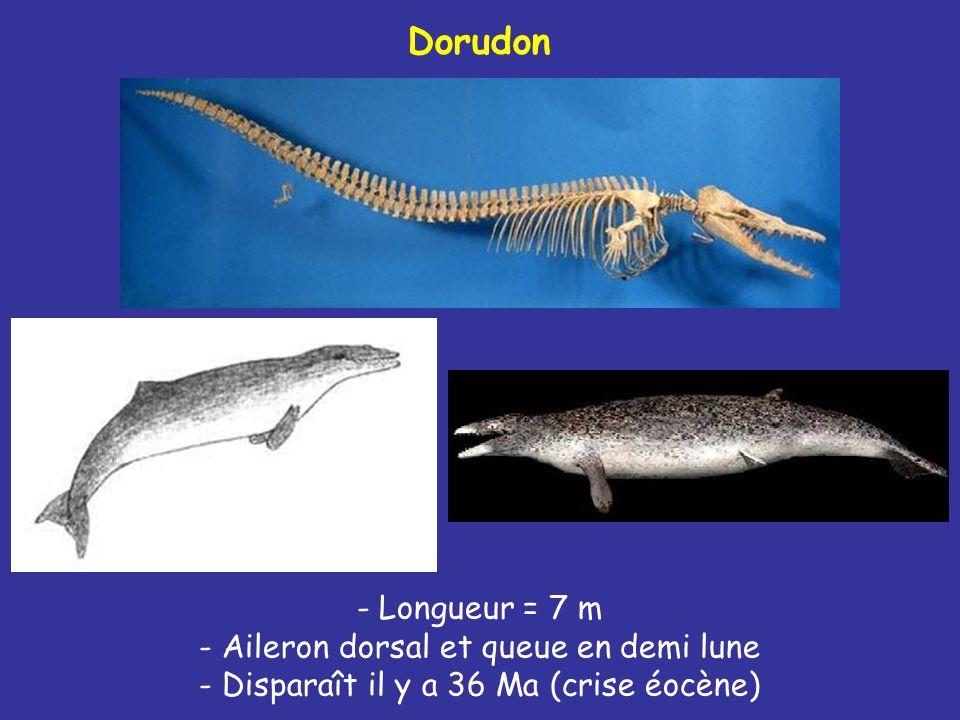 Dorudon - Longueur = 7 m - Aileron dorsal et queue en demi lune - Disparaît il y a 36 Ma (crise éocène)