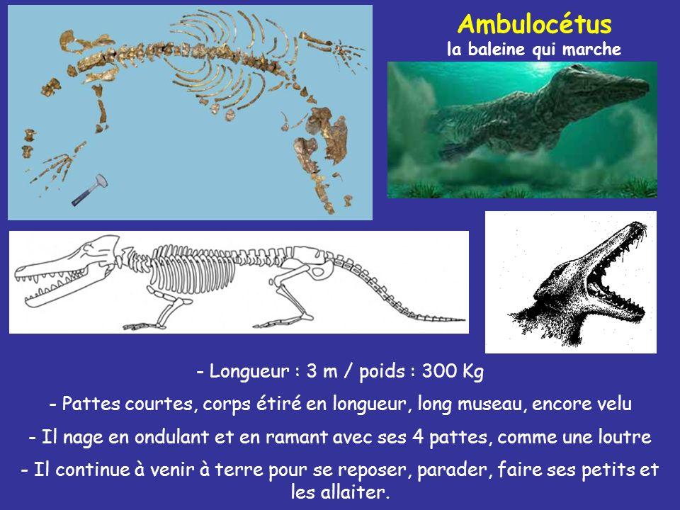 Ambulocétus la baleine qui marche - Longueur : 3 m / poids : 300 Kg - Pattes courtes, corps étiré en longueur, long museau, encore velu - Il nage en o