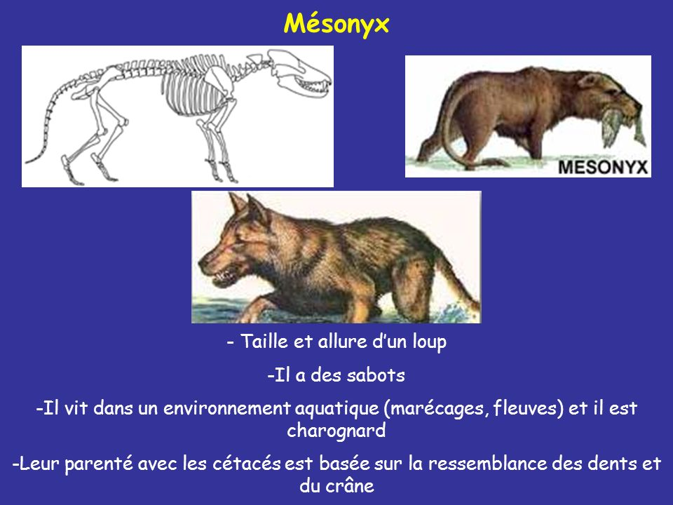 - Taille et allure dun loup Mésonyx -Il a des sabots -Il vit dans un environnement aquatique (marécages, fleuves) et il est charognard -Leur parenté a