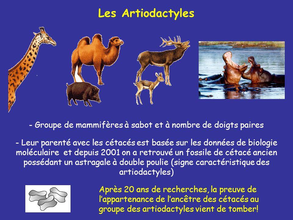 Les Artiodactyles - Groupe de mammifères à sabot et à nombre de doigts paires Après 20 ans de recherches, la preuve de lappartenance de lancêtre des c