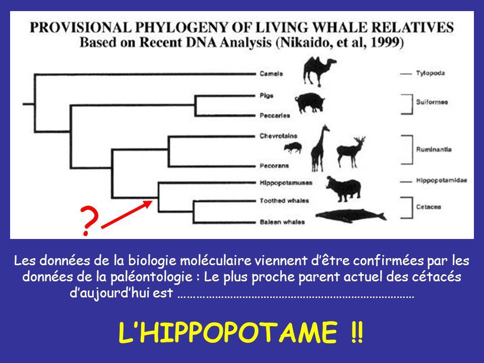 Les données de la biologie moléculaire viennent dêtre confirmées par les données de la paléontologie : Le plus proche parent actuel des cétacés daujou