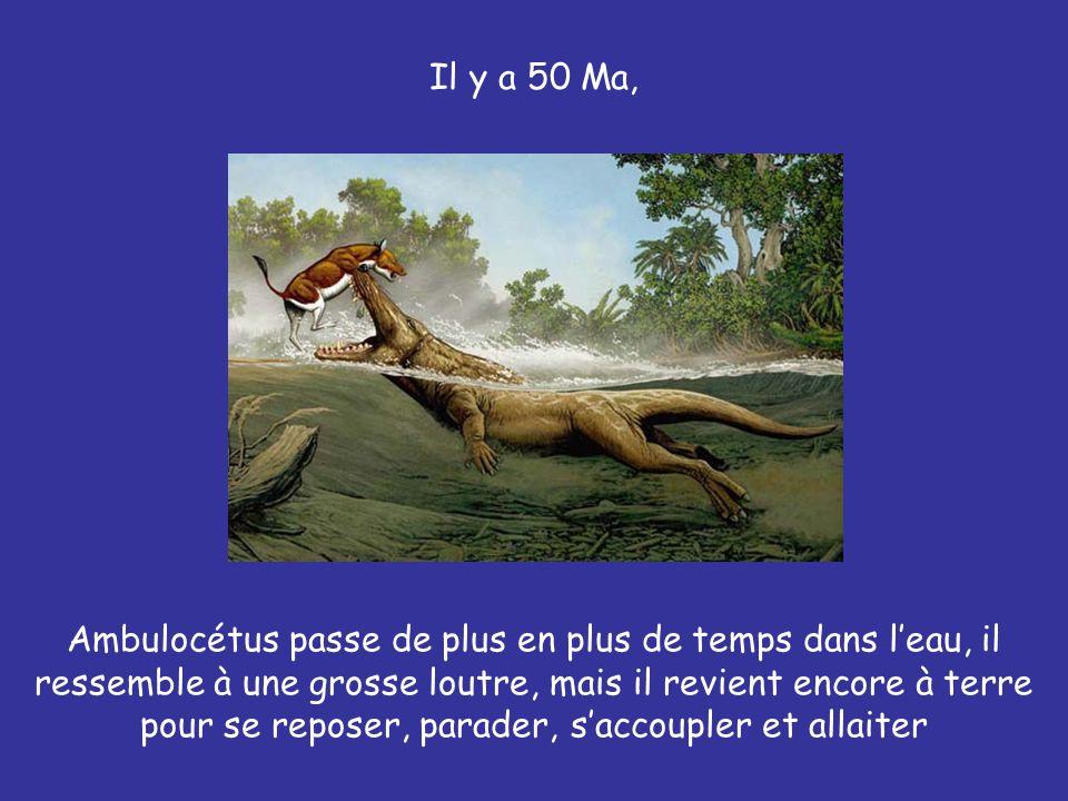 Il y a 50 Ma, Ambulocétus passe de plus en plus de temps dans leau, il ressemble à une grosse loutre, mais il revient encore à terre pour se reposer,