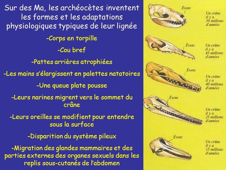 Sur des Ma, les archéocètes inventent les formes et les adaptations physiologiques typiques de leur lignée -Corps en torpille -Cou bref -Pattes arrièr