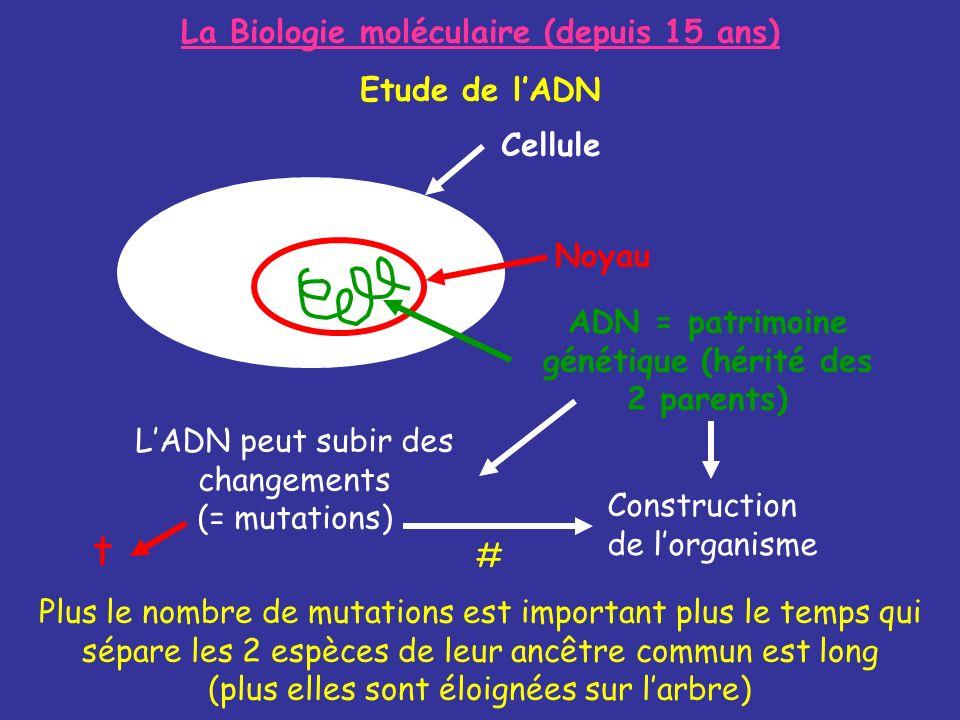 La Biologie moléculaire (depuis 15 ans) Etude de lADN Plus le nombre de mutations est important plus le temps qui sépare les 2 espèces de leur ancêtre