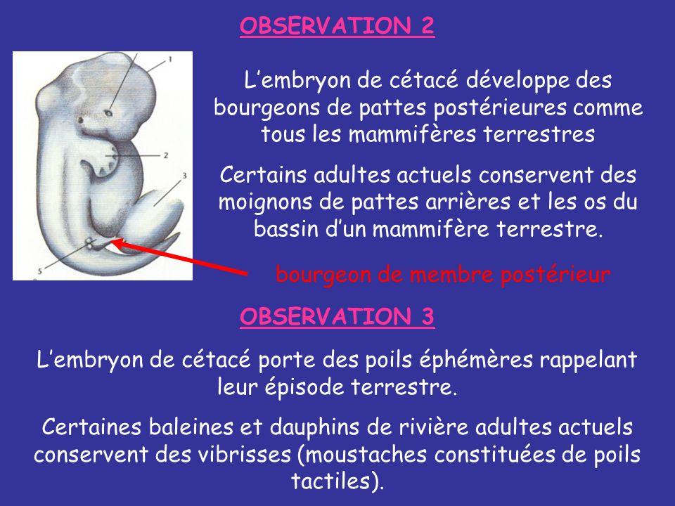OBSERVATION 2 Lembryon de cétacé développe des bourgeons de pattes postérieures comme tous les mammifères terrestres Certains adultes actuels conserve