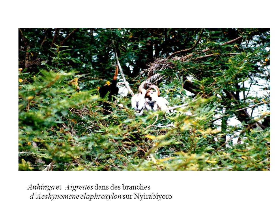 Anhinga et Aigrettes dans des branches dAeshynomene elaphroxylon sur Nyirabiyoro
